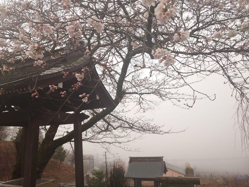 桜(永昌院)